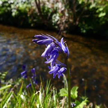Bluebell (Hyacinthoides non-scripta) by IOMWildFlowers