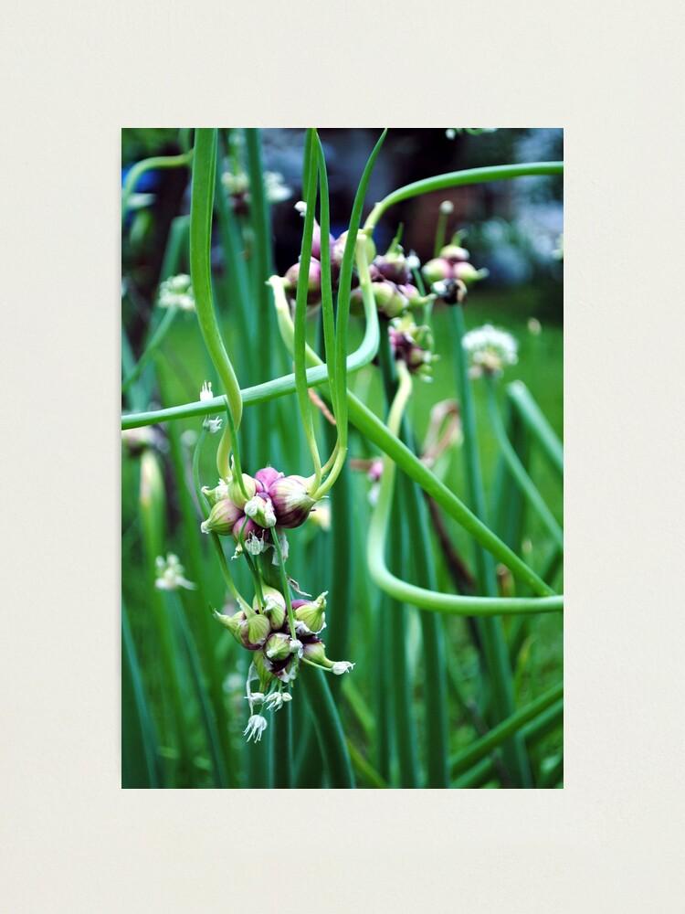 Alternate view of Walking Onions  (Allium cepa var. proliferum) Photographic Print