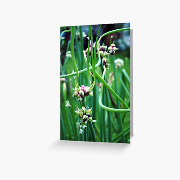 Walking Onions  (Allium cepa var. proliferum) Greeting Card
