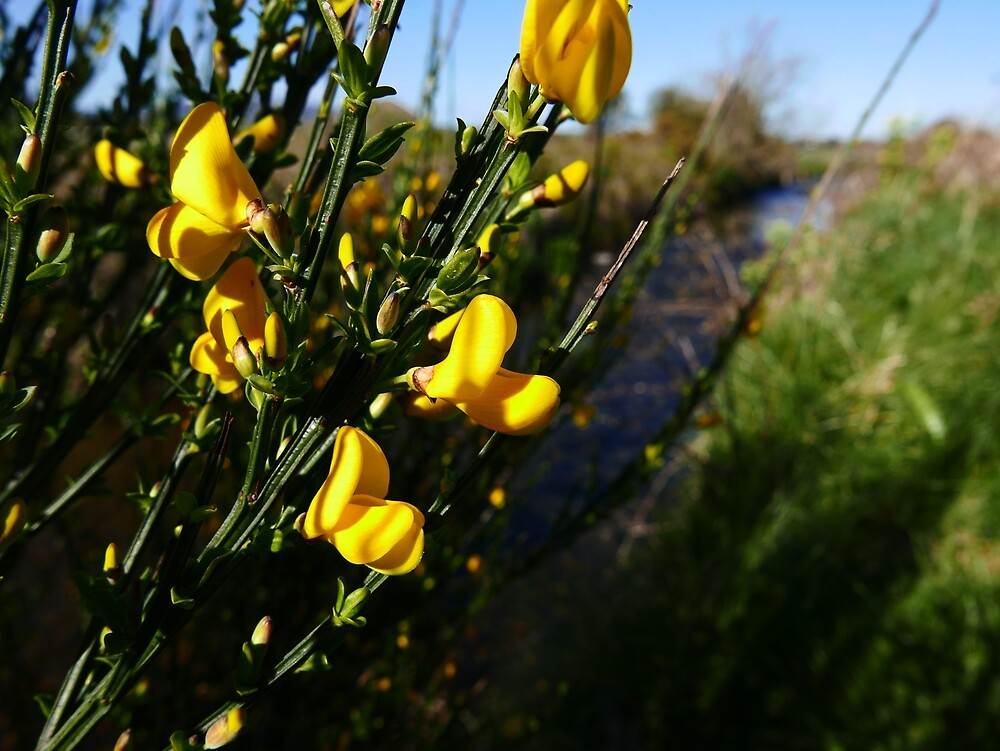 Broom (Cytisus scoparius) by IOMWildFlowers