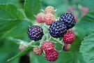Raspberries for the Week by MarjorieB