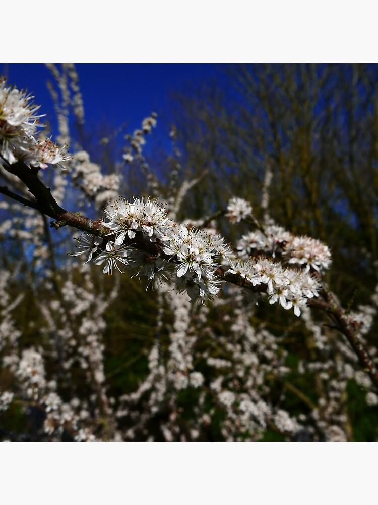 Blackthorn (Prunus spinosa) by IOMWildFlowers