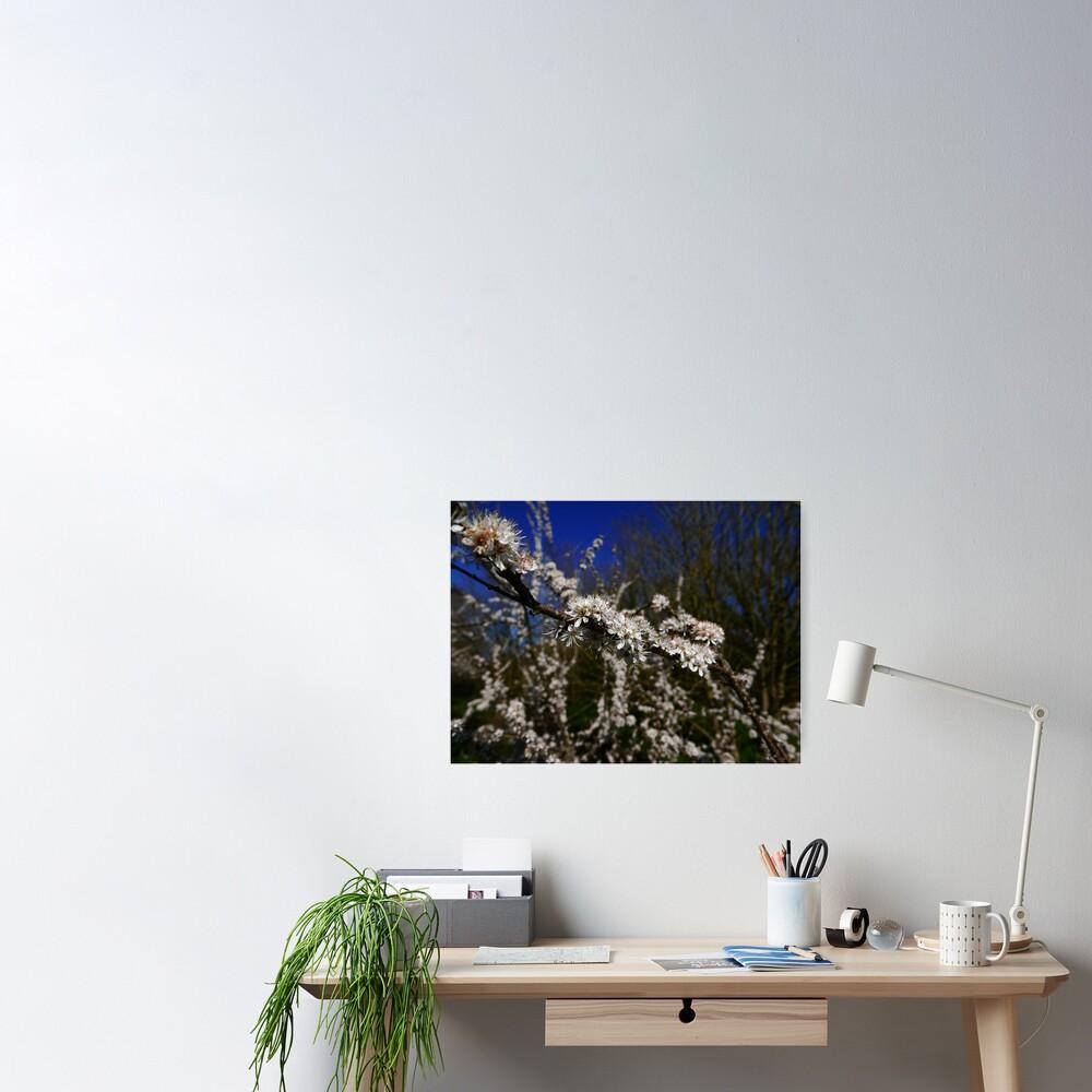 Blackthorn (Prunus spinosa) Poster