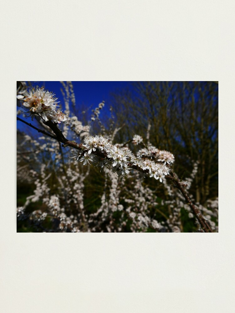 Alternate view of Blackthorn (Prunus spinosa) Photographic Print