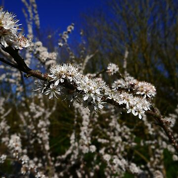 Blackthorn (Prunus spinosa) by IOMWildFlowers