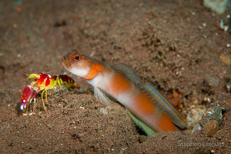shrimp and goby The goby benefits from the shrimp's digging and construction skills, having access to a well-built burrow pistol shrimps have poor eyesight, and they use gobies as an early warning system to detect predators.