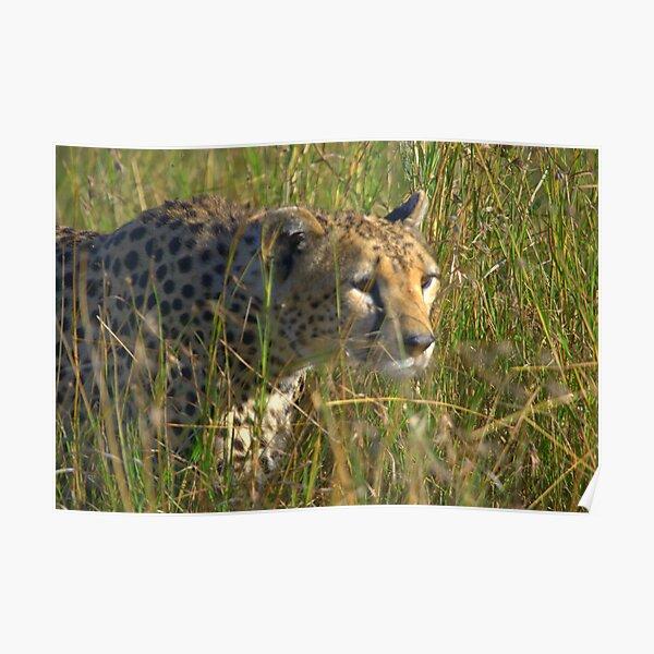 Cheetah in pusuit of prey Poster