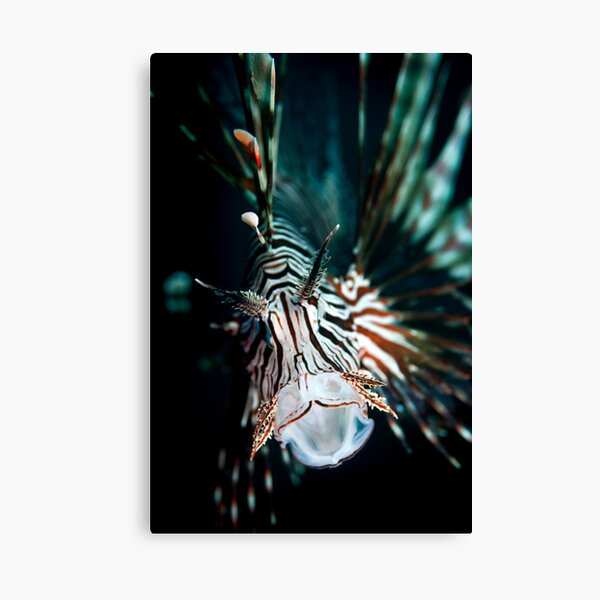 Yawning lionfish  Canvas Print