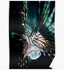 Yawning lionfish  Poster