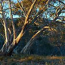 Morning light on winter trees by ShaneBooth