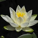 Water Lily From A Canoe by Tracy Wazny
