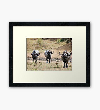 AFRICAN BUFFALO - Syncerus caffir Framed Print