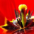 Red Tulip by Heather Haderly