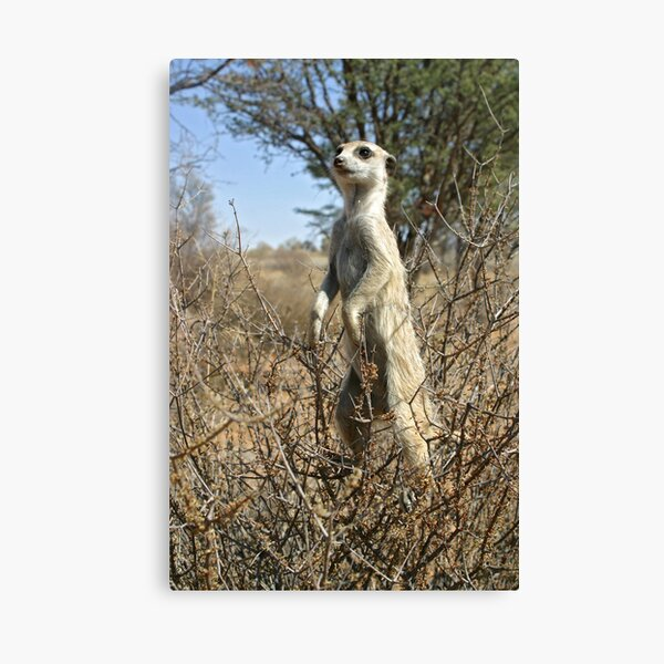 Meerkats in high places Canvas Print