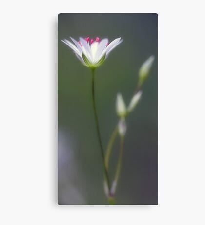 Wildflower - Star Chickweed Canvas Print