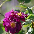 Sunny Roses by Catherine Davis