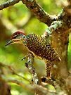 Golden tailed woodpecker by Explorations Africa Dan MacKenzie