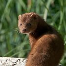 A Mink Intrudes, Or is it the Other Way Round by David Friederich