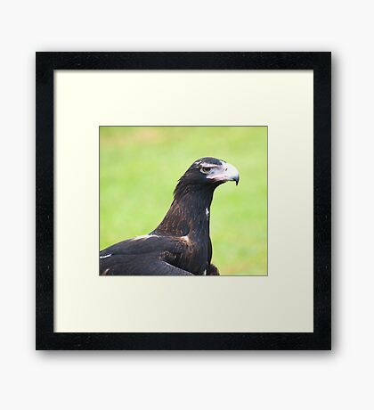 Grumpy face - wedge tailed eagle Framed Print