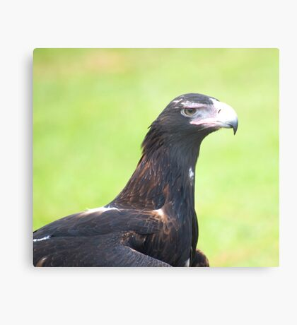 Grumpy face - wedge tailed eagle Metal Print