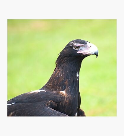 Grumpy face - wedge tailed eagle Photographic Print