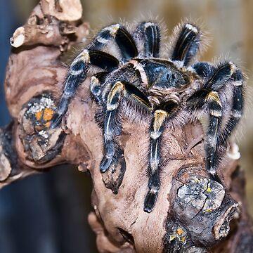 tarantula by emtee656