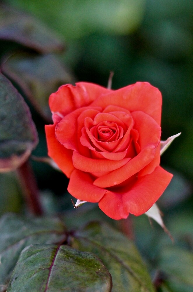 La Rosa by quantumnatura