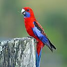 Crimson Rosella. Cedar Creek, Brisbane, Queensland, Australia. by Ralph de Zilva