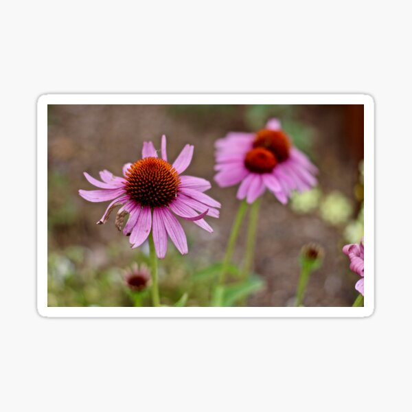 Purple Cone Flowers Sticker
