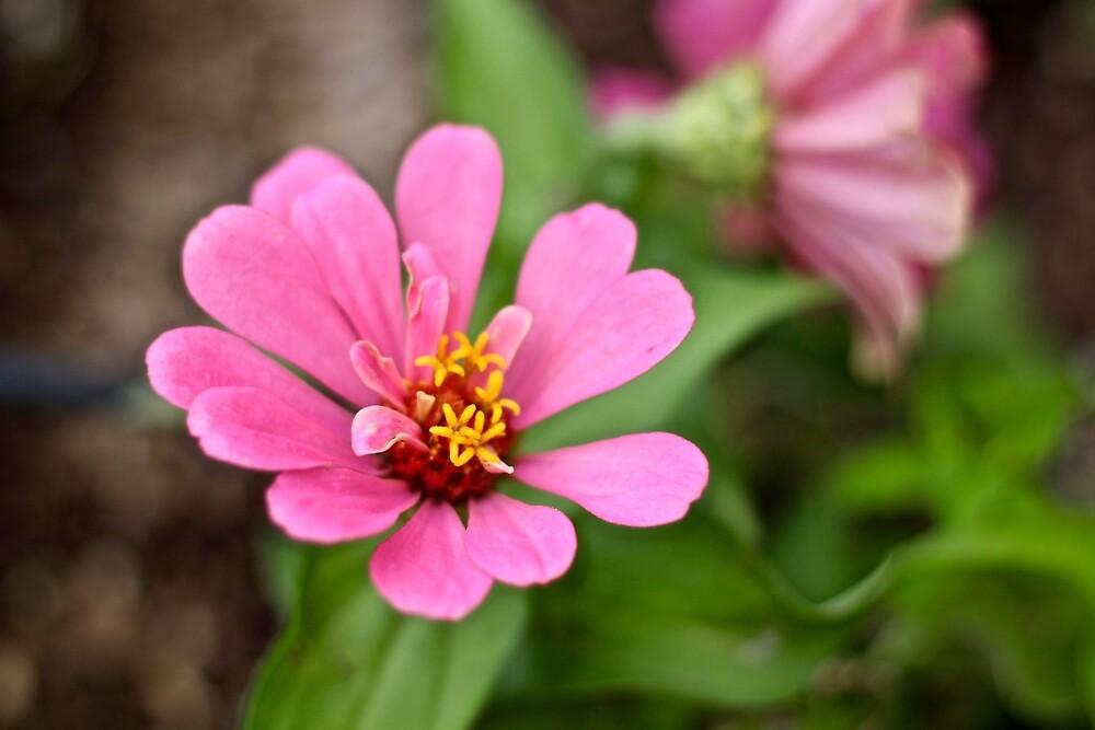 Pink Zinnia  by quantumnatura