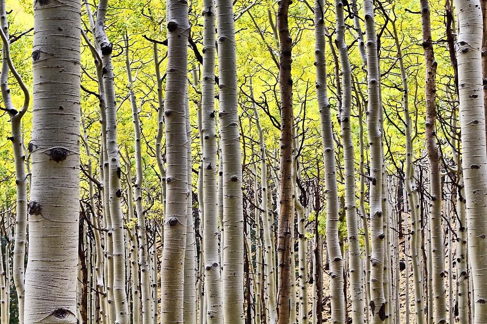 Aspen Forest  by quantumnatura
