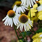 Cone Flowers by quantumnatura
