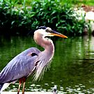 Great Blue Heron by Dave & Trena Puckett