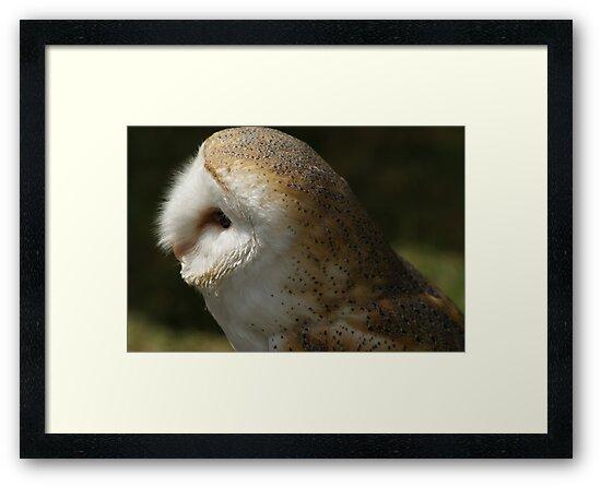 Barn Owl (Tyto Alba) #2 by Sandra Cockayne