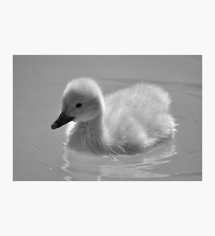 Miniature Bewicks swan  Photographic Print