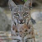 Bobcat by tomryan