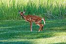 White-tailed fawn, male by amontanaview