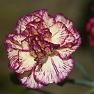 Cream Carnation with a Touch of Raspberry! by Sandra Cockayne