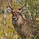 Territorial Male Waterbuck  by Konstantinos Arvanitopoulos