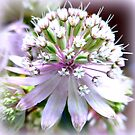 Astrantia in Detail by ©The Creative  Minds