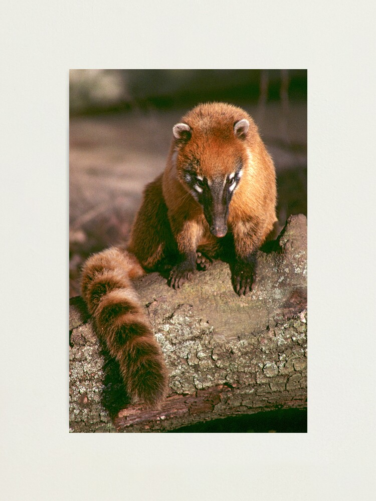 Alternate view of A study in coati Photographic Print