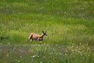If Monet painted deer... by amontanaview