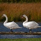 Swans at Magra 4 by dougie1page2
