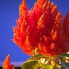 Celosia by Rich Summers