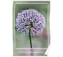 Ukonlaukka (Allium aflatunense) Poster
