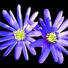blaue Anemonen, Blumen, Blüten von rhnaturestyles
