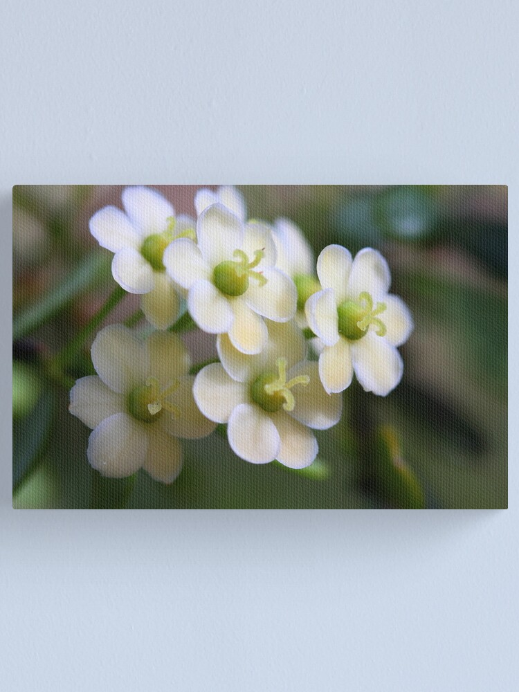 Alternate view of Phyllanthus microcladus Canvas Print