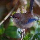 Male Blue Wren by adbetron