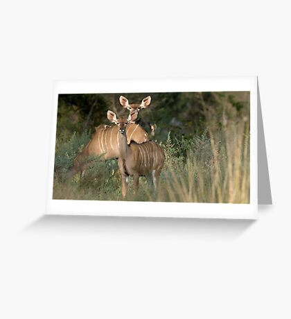 Greater Kudu Greeting Card