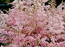 Pink Astilbe by AnnDixon